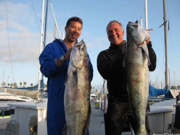 Califorina White Seabass Spearfishing