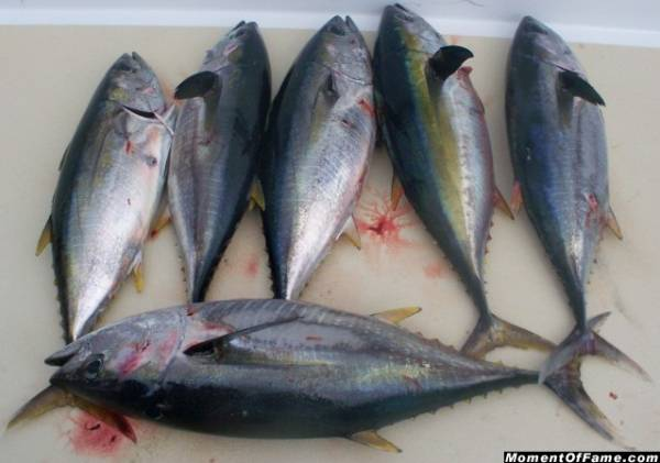 Six Yellowfin Tuna