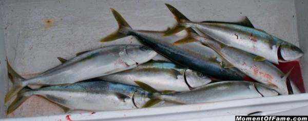 Seven Yellowtail in the box
