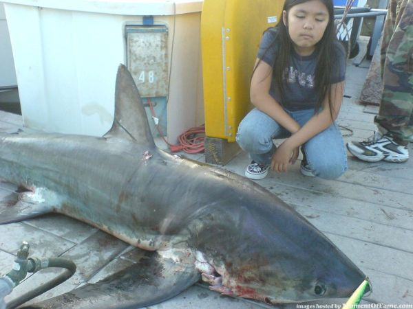 200lb thresher shark