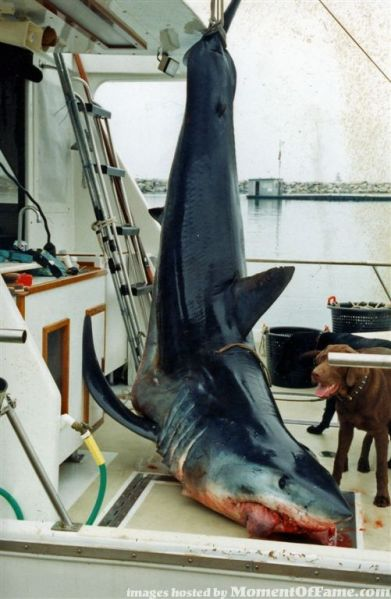 Large California Mako