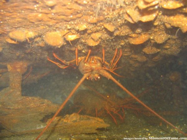 Underwater lobster pictures pics
